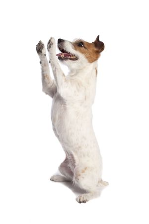 isolated jack russell terrier standing and begging over white background Stock Photo