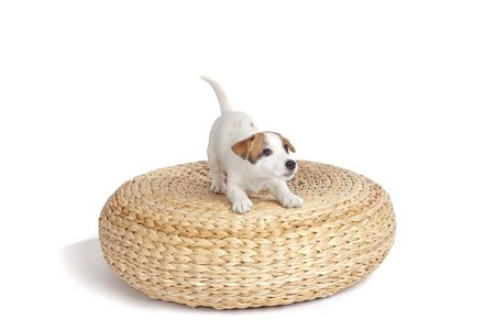 isolated cute jack russell terrier puppy over white background photo