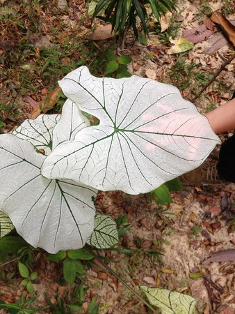 Big Caladium Allure leaf in Malaysia