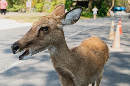 The antelope is attracted from tourist  at Open Zoo, Chonburi, Thailand. Stock Photo