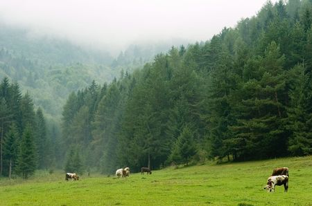 Cows pasturing on a misty meadow with coniferous forest disappearing in fog in the background photo