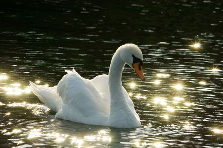 black swan: Backlit Mute Swan (Cygnus olor) on dark water bathing in golden light, glowing star-shaped specular reflections on the surface create very romantic mood