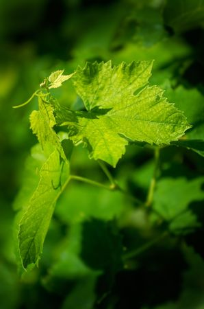 twined: Young grapevine leaves in early summer, shallow DOF