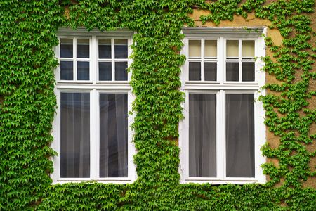 Windows on an old house covered with ivy photo