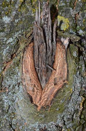 knothole: Old tree with knothole