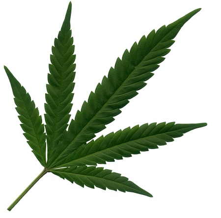 pot: Single Marijuana leaf on white background
