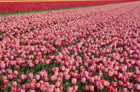 Yellow, red and pink tulips in a great tulip field near amsterdam photo