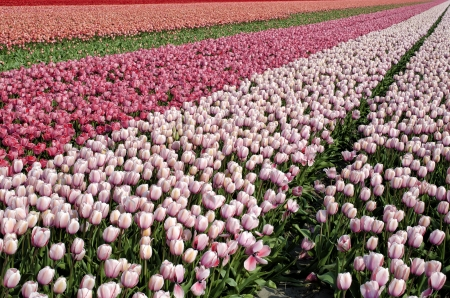 Pink tulips in a great tulip field near amsterdam photo