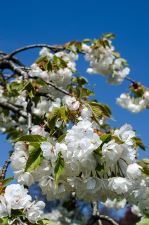 A fruit tree full of blossoms photo