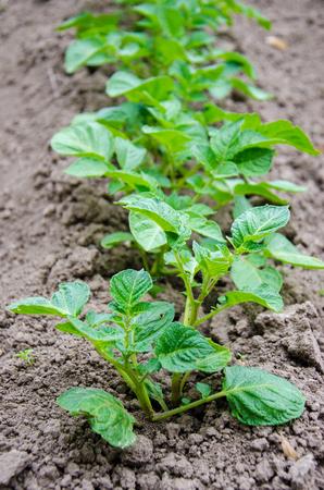A row of potato plants