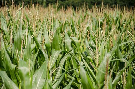 A maize field in summer