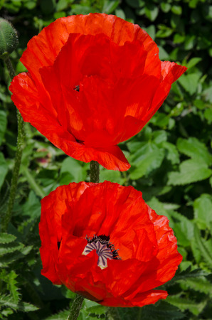 Two poppies in front of a green leaves Stock Photo