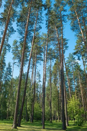Pine trees in the park. Protection of the environment, nature theme. Imagens