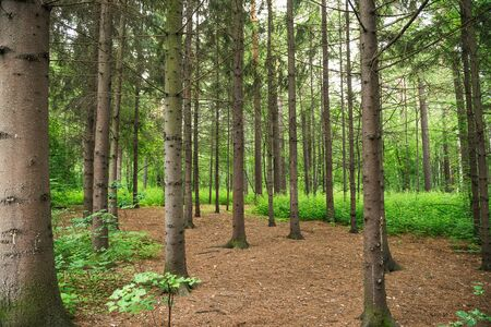 Coniferous forest. Nature theme.