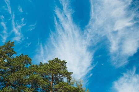 Top of the pines against the blue sky with clouds. Daylight. Imagens