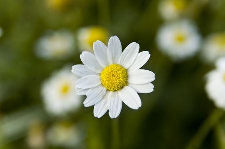 White Macro expuse daisy Stock Photo