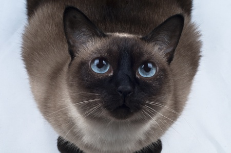 Siamese Cat looking up the Camera