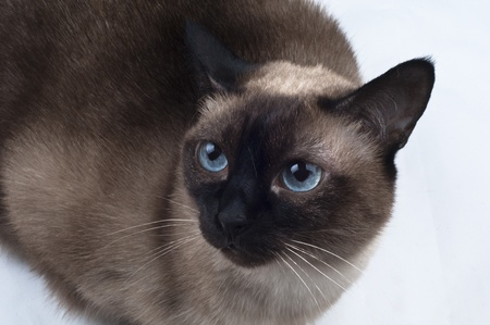 Siamese Cat looking up the Camera photo
