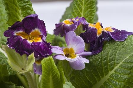 cowslip: Purple Cowslip flower close-up Stock Photo