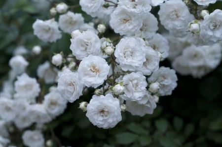 White roses on the garden  at bulgaria
