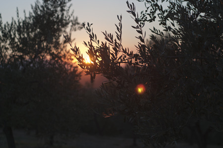 vinci: Sundown Olive Oil Farm in Vinci , italy Stock Photo
