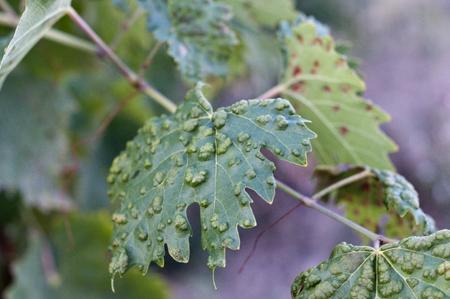 diseased: Diseased leaf grapes sickness vineyard Vinci italy