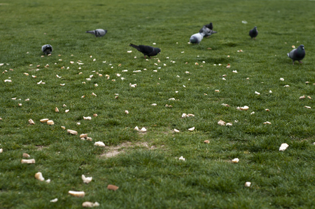 Pigeon and food on the green grass area in izmir city ,Turkey
