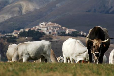 castelluccio di norcia: cows eating grass, Castelluccio di Norcia, Italy Stock Photo