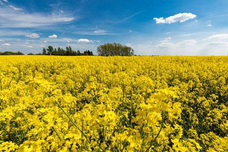 Countryside scenic view with yellow colza (stuprum) blooming