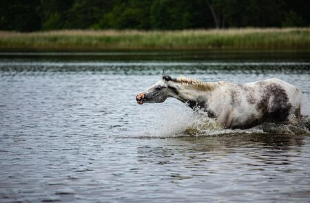 noble half-blood horse playing and splashing water in the lake