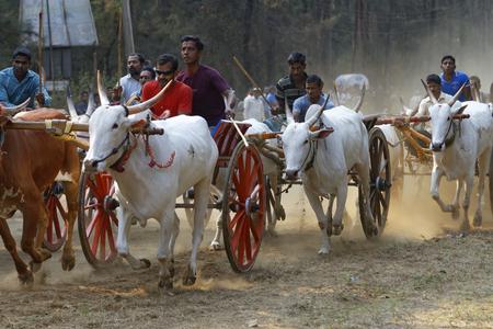 bullock: Bullock cart Race on April 30 2014 at Nagaon near AlibaugMaharashtra India. Bullock Racing is the traditional festival around Alibaug town for about 100 years.