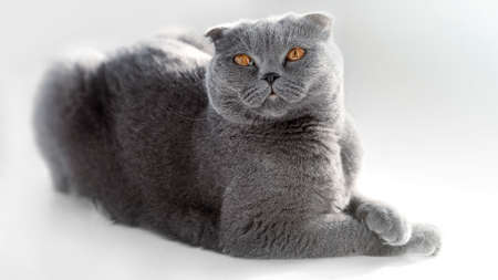 British Shorthair cat lying on white table. A beautiful cat advertises food. Purebred Briton sits on isolation, legs crossed. Looking away. Copy space. Banner
