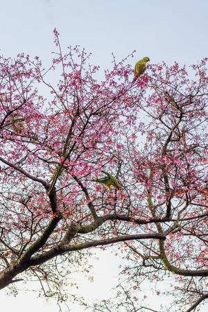 loros verdes: loros verdes en un �rbol de cerezo en flor