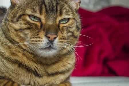 ojos verdes: Mirando fijamente gato con rayas de color naranja con los ojos verdes