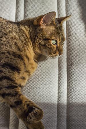 ojos verdes: gato rayado anaranjado asertivo con los ojos verdes