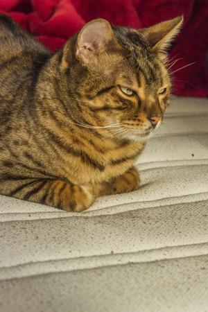 ojos verdes: Descansando gato con rayas de color naranja con los ojos verdes