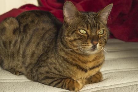 eyes green: Mirando fijamente gato con rayas de color naranja con los ojos verdes