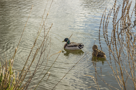 two ducks: Two ducks swimming in a pond on a sunny day Stock Photo