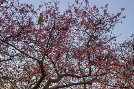 green parrot: Green parrot in a blooming cherry tree