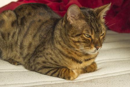 eyes green: Orange striped cat with green eyes falling asleep