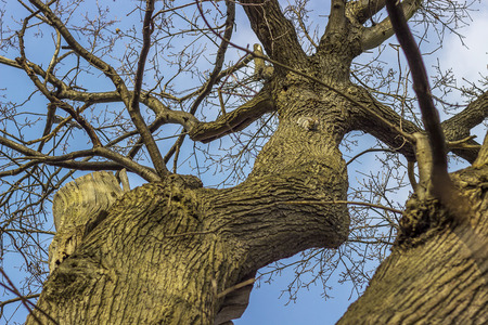 greenwich: Three grey squirrels on a tree in Greenwich Park in London.