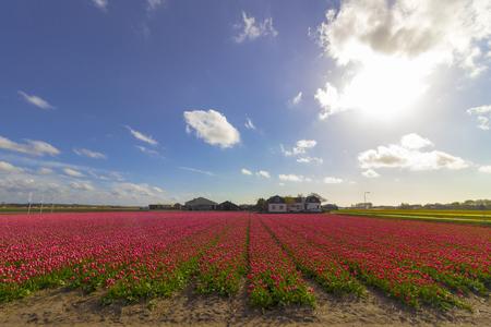 Les Pays-Bas sont bien connus pour la beauté de leurs tulipes et leurs jacinthes. Au printemps, vous pouvez trouver de nombreuses rangées de champs fleuris dans la campagne. Banque d'images - 77383319