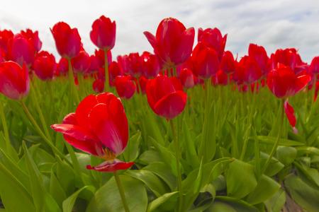 Les Pays-Bas sont bien connus pour la beauté de leurs tulipes. Au printemps, vous pouvez trouver de nombreuses rangées de champs fleuris autour de la campagne. Banque d'images - 77383325
