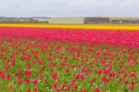 The Netherlands are well known for the beauty of their tulips. In spring time, you can find many rows of flowery fields around the countryside.