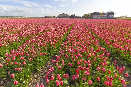 Les Pays-Bas sont bien connus pour la beauté de leurs tulipes et leurs jacinthes. Au printemps, vous pouvez trouver de nombreuses rangées de champs fleuris dans la campagne. Banque d'images - 77383335