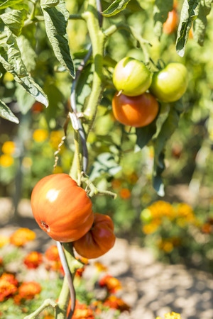 Ripening green and red tomatoes under the sun Banco de Imagens