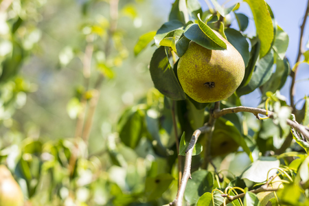Ripening pear in a pear tree under the sun
