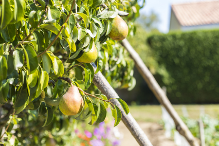 Ripening pears in a pear tree under the sun