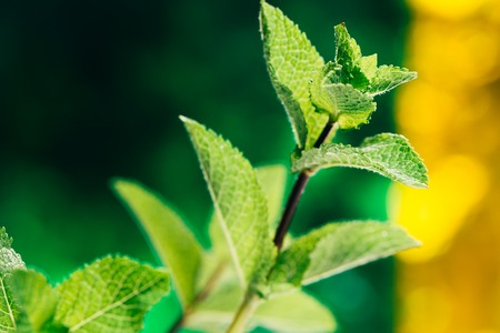 fresh mint leaves on green-yellow blurred background.
