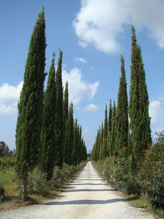 cypresses alley in Tuscany photo